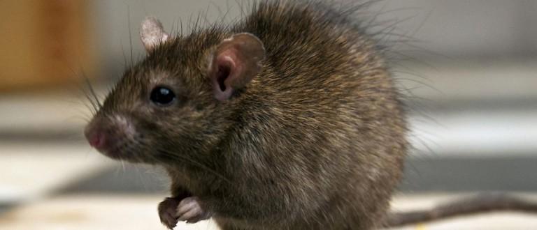 A rat [Getty Images]
