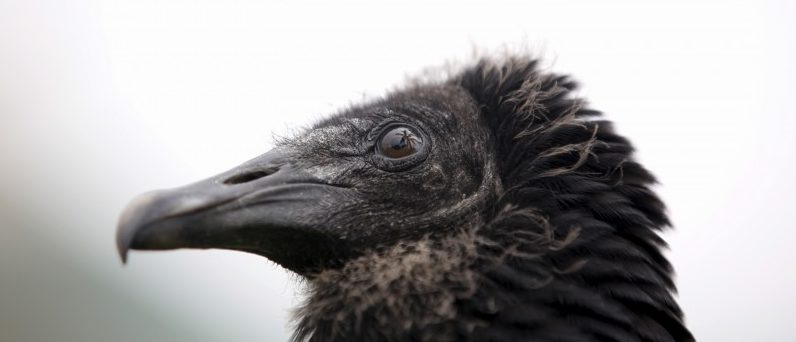 """A vulture stands during an exercise for the """"Vultures Detect"""" programme at Huachipa Zoo in Lima"""