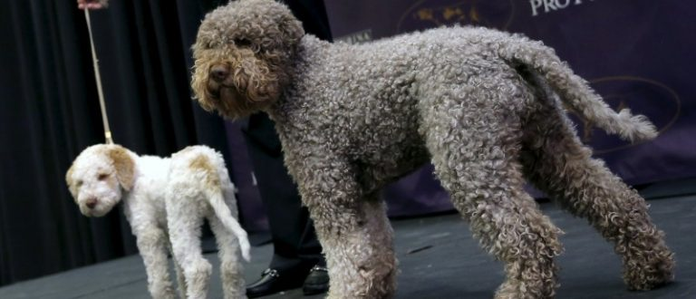 Niko, a Lagotto Romangnolo, stands with puppy at news conference to introduce seven new breeds competing in the 2016 Westminster Kennel Club Dog Show in New York