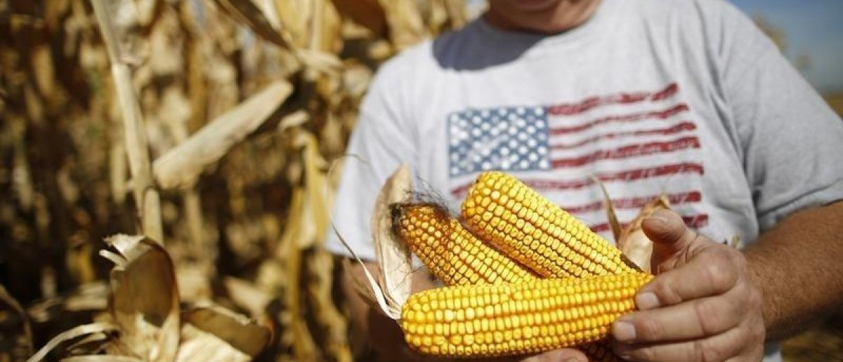 Farmer Dan Roberts inspects his corn crop during the harvest in Minooka