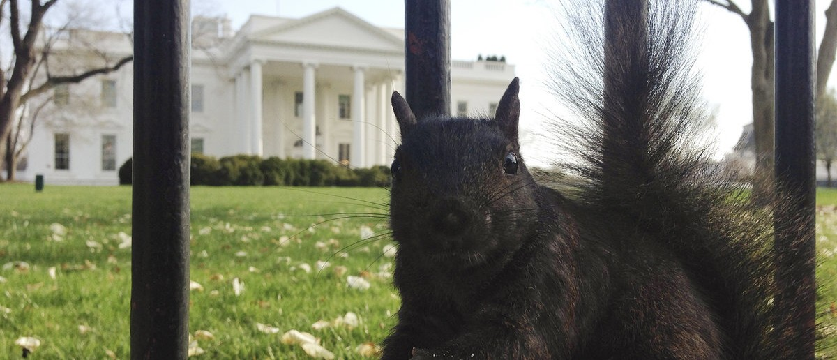 A wild squirrel looks into the camera as it pauses while eating a piece of cracker dropped by a tourist at the north fence of the White House in Washington, April 11, 2014. REUTERS/Jim Bourg