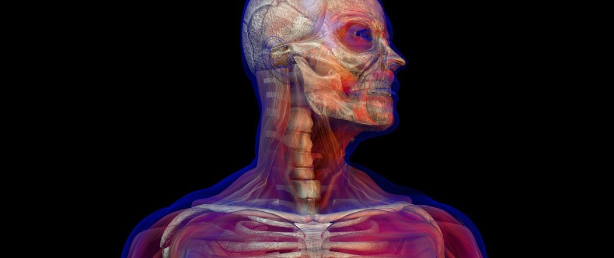 3D illustration of human male anatomy and skeleton. Standing pose. Torso with head Flikr/Creative Commons