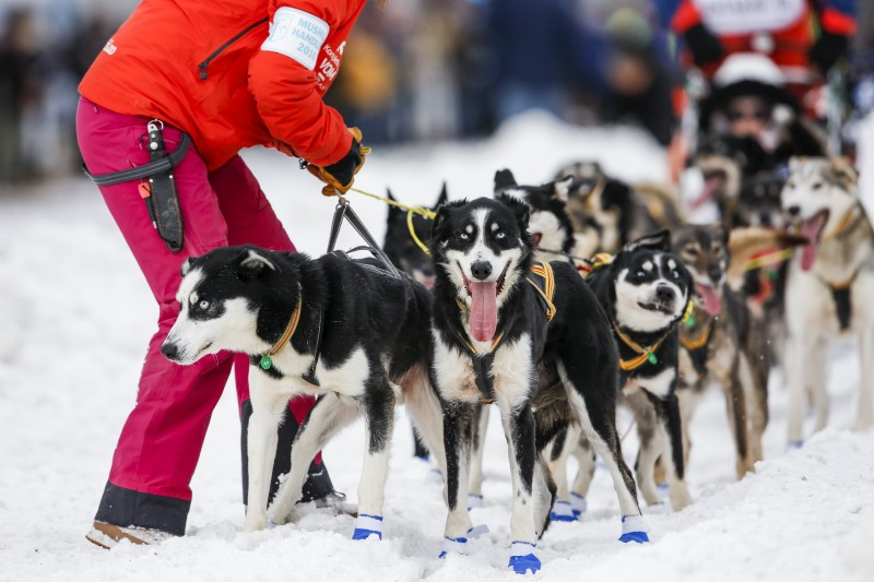 Lars Monsen, a musher from Norway, waits for a handler to untangle his team just after the ceremonial start of the Iditarod Trail Sled Dog Race in downtown Anchorage, Alaska March 5, 2016. REUTERS/Nathaniel Wilder