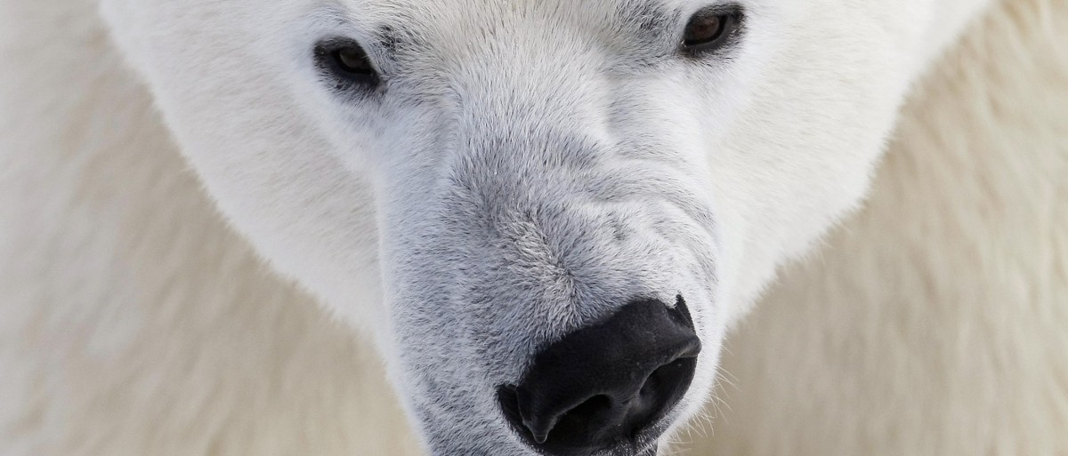A polar bear growls at the St. Felicien Wildlife Zoo in St. Felicien, March 5, 2009.  (REUTERS/Mathieu Belanger)