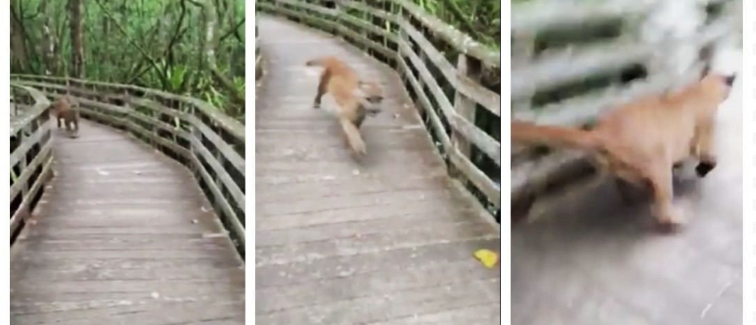 'HOLY S**T!' -- Florida Panther Scares Unsuspecting Hiker Half To Death (screenshots: Facebook)