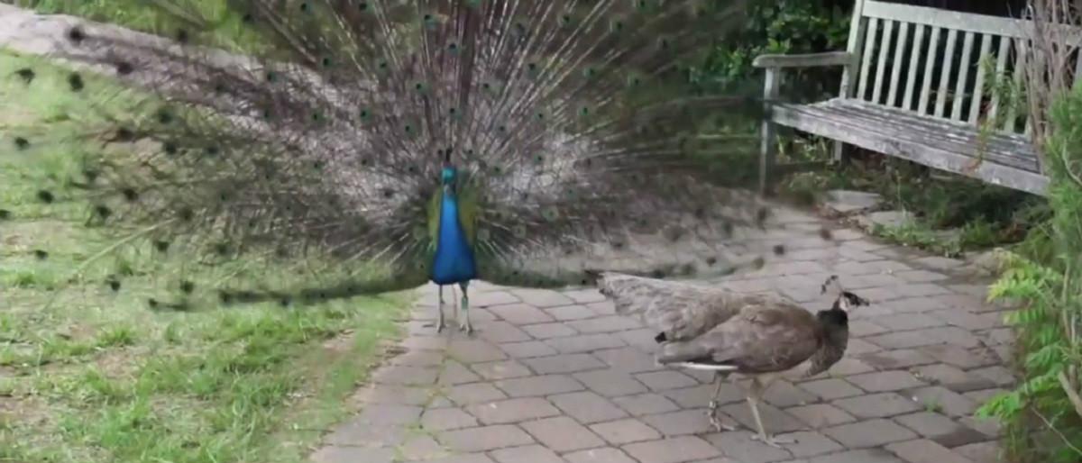 Peacock and peafowl