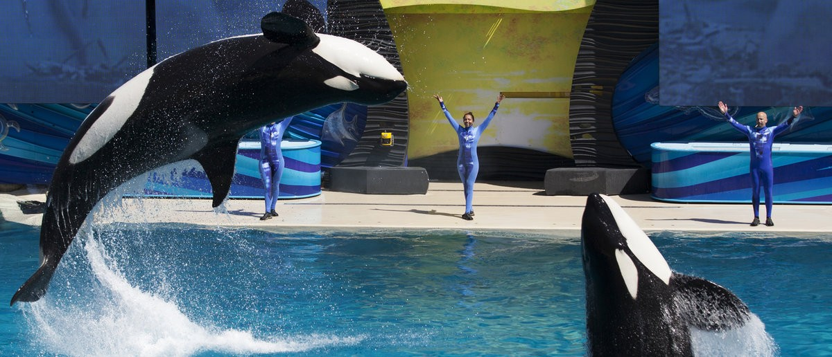 "Trainers have Orca killer whales perform for the crowd during a show at the animal theme park SeaWorld in San Diego, California March 19, 2014. A California lawmaker introduced a bill to ban live performances and captive breeding of killer whales in the state, a measure that would force the SeaWorld San Diego marine theme park to end is popular ""Shamu"" shows. (REUTERS/Mike Blake)"