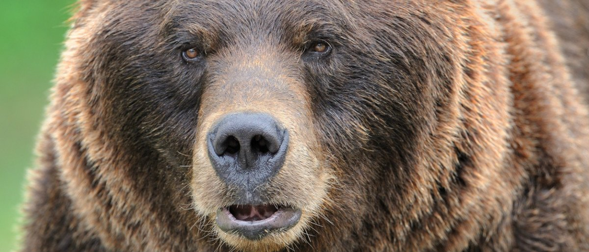 grizzly bear Shutterstock/Nagel Photography
