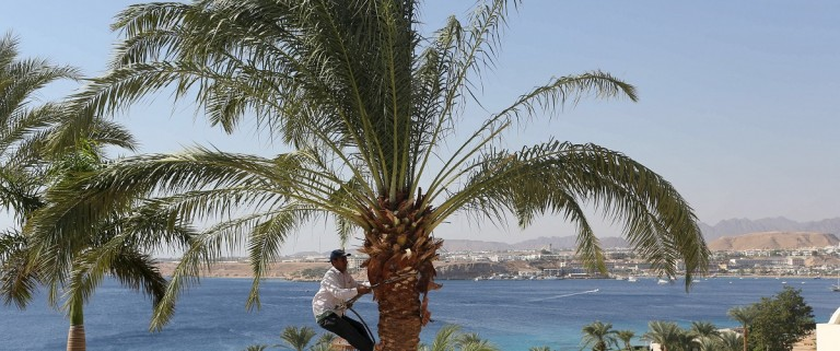 A worker trims a palm tree at a hotel at the Red Sea resort of Sharm el-Sheikh