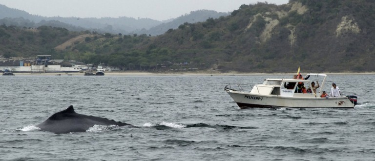 A humpback whale appears near the water surface in Puerto Lopez, some 375km (233 miles) northwest of Quito July 29, 2012. Humpback whales migrate from the Antarctic to Ecuadorian coasts in this season. Picture taken July 29, 2012. REUTERS/Guillermo Granja