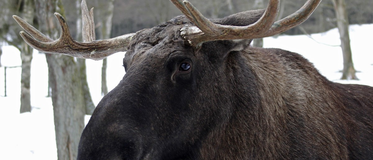 A moose is seen at Skanes Djurpark, a zoo in Hoor, southern Sweden January 29, 2011. REUTERS/Yves Herman