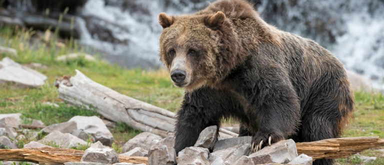Grizzly bear in Yellowstone National Park, Wyoming Shutterstock.com/Nagel Photography
