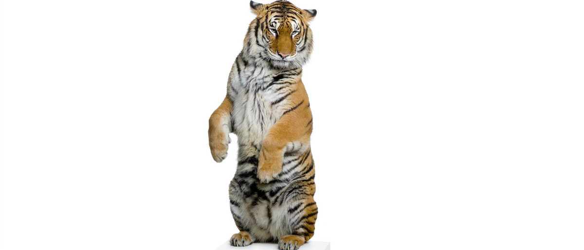 tiger standing Shutterstock/Eric Isselee
