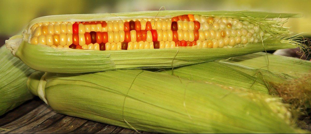 GMO food (Credit: Shutterstock/Carlos Amarillo)