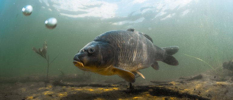Underwater shot of the fish (Carp of the family of Cyprinidae) in a pond near the bottom. Shutterstock.com/ Dudarev Mikhail