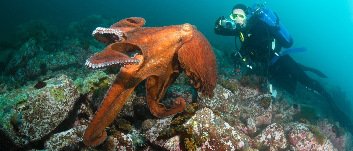 Diver takes picture of giant octopus dofleini,under him peeps from boulder under 20 meters deep, September 2010, Sea of Japan, Russia. Shutterstock.com/Boris Pamikov