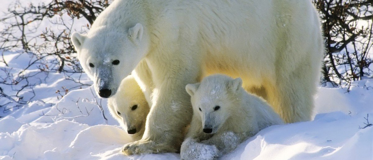 Polar bear with her twin cubs of the year. Canadian Arctic (outdoorsman/Shutterstock)