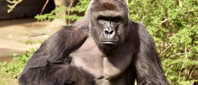 Harambe, a 17-year-old gorilla at the Cincinnati Zoo