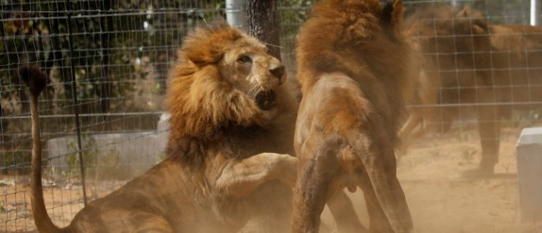 Some of the 33 lions rescued from circuses in Peru and Colombia are seen as they fight after being released at their final destination at the Emoya Big Cat Sanctuary, outside Vaalwater in South Africa's northern Limpopo province