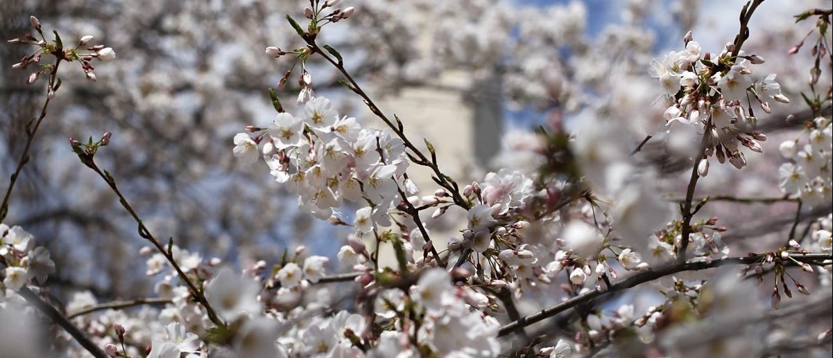 The Washington Monument can be seen through some of the famed cherry blossoms along the Tidal Basin in Washington