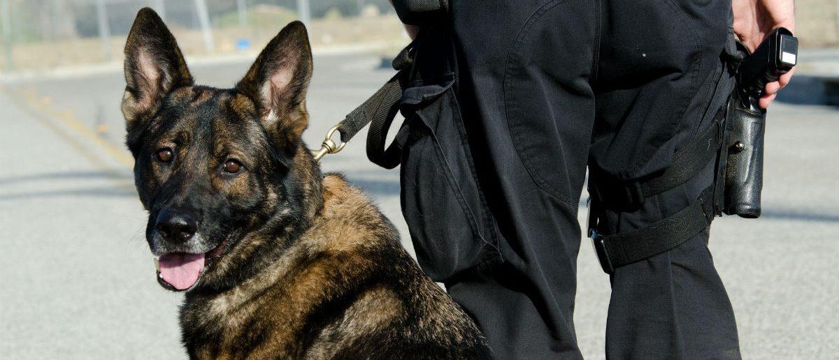 Police dog, John Roman Images, Shutterstock