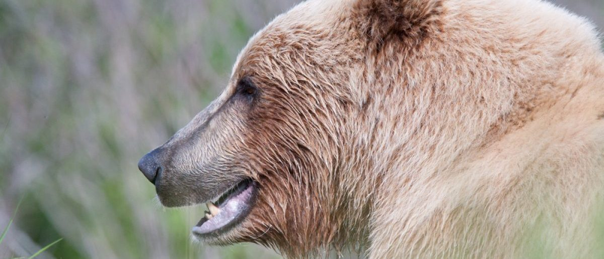 blonde grizzly bear