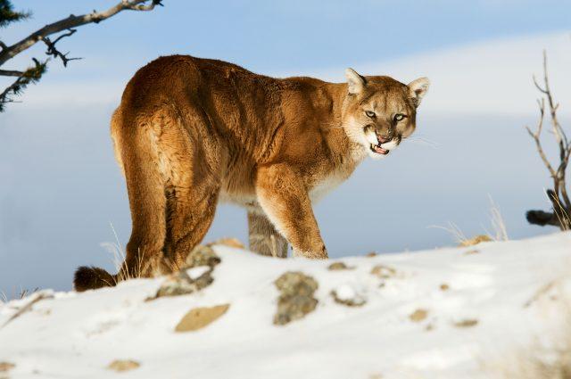 Mountain lion mauls boy while playing outside