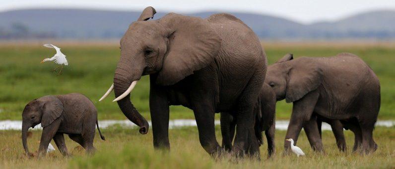 A bird flies over a family of elephants walking in the Amboseli National Park, southeast of Kenya's capital Nairobi