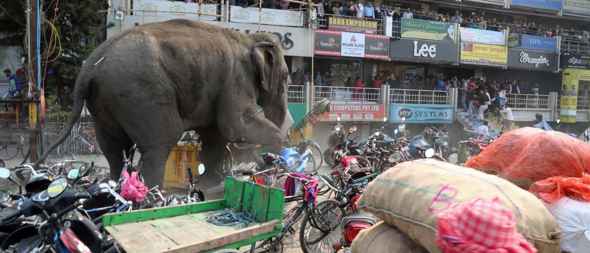 TOPSHOT - Indian bystanders watch as a wild elephant with a tranquillizer dart in its back side walks along a street in Siliguri on February 10, 2016. The adult male elephant was tranquilised and captured by wildlife officials and transported to a nearby forest. AFP PHOTO / Getty / AFP / DIPTENDU DUTTA
