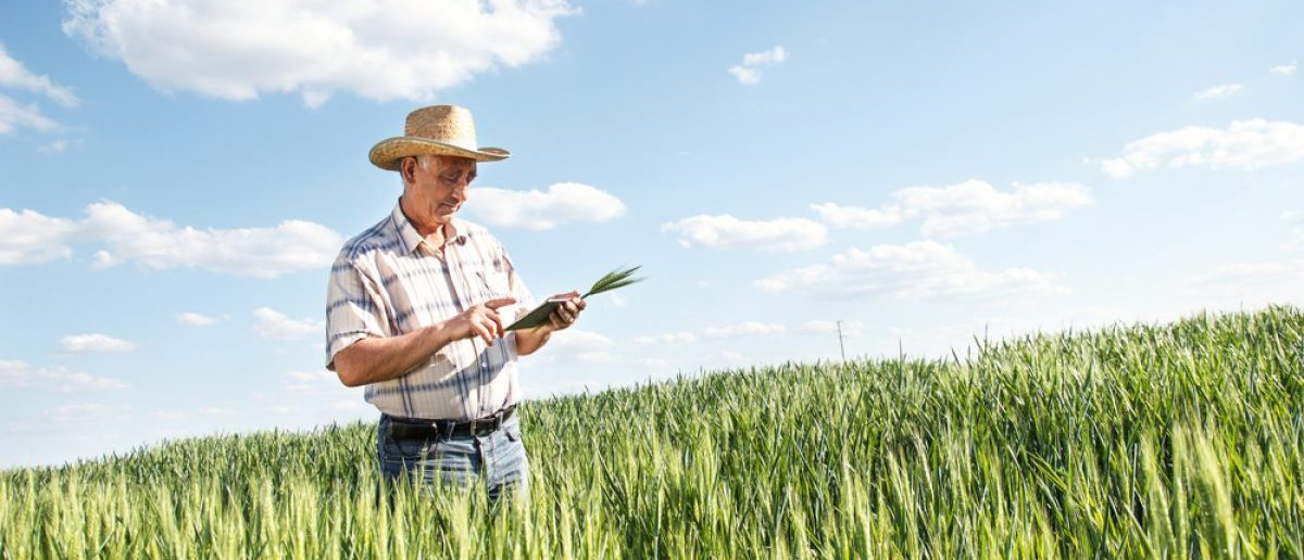 Farmer standing in a wheat field and looking at personal tablet. [Shutterstock - PointImages - 277037870]
