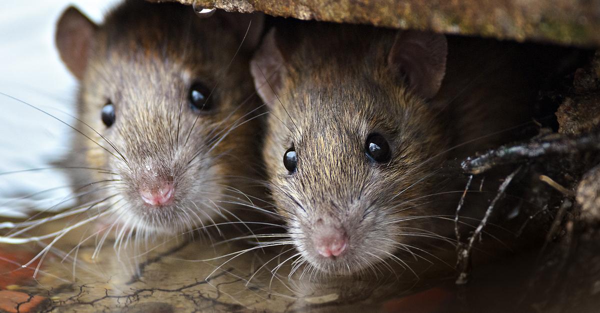Rat (Credit: Gallinago_media/Shutterstock)
