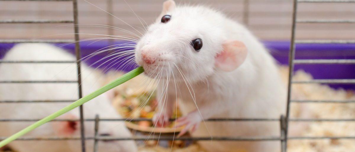 A rat eating grass. Shutterstock/Kirill Kurashov