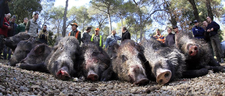 Hunters display boars after a battue organised by the General council of the Alpes Maritimes department to control the wild pig population in Valbonne, southeastern France February 19, 2011. Fifteen boars were killed during the operation.     REUTERS/Eric Gaillard (FRANCE - Tags: ANIMALS ENVIRONMENT SOCIETY) - RTR2ITK4