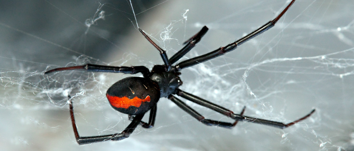 redback spider Shutterstock/Peter Waters