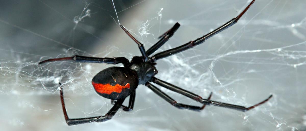 redback spider Shutterstock/Peter Waters