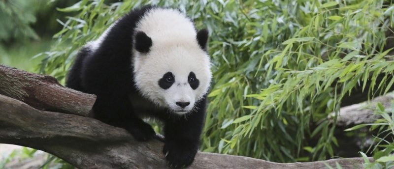 Bao Bao, a 44-pound female panda bear cub, is seen in the panda exhibit at the Smithsonian's National Zoo in Washington August 23, 2014.  REUTERS/David Galen/Smithsonian's National Zoo/Handout