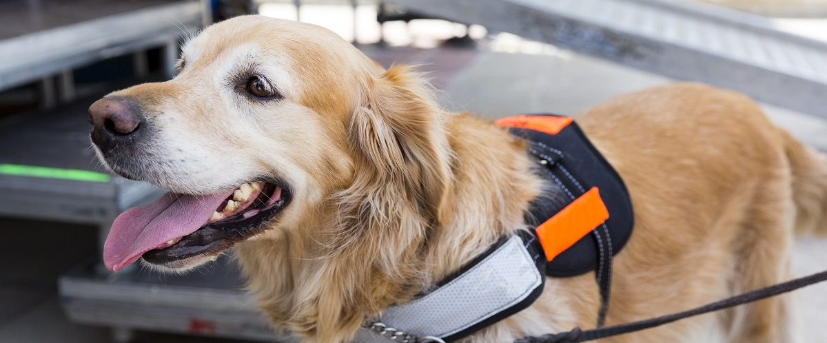 Photo of a service dog trained by an assistance organization. Cylonphoto/Shutterstock.