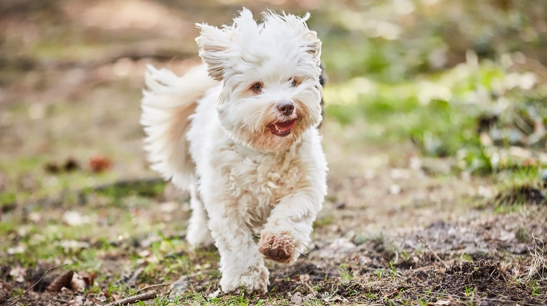 white havenese dog Shutterstock/Vista Photo