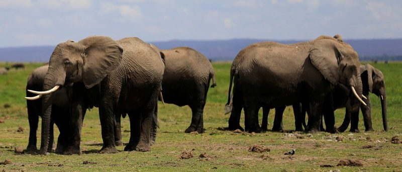 Elephants graze during an exercise to fit them with advanced satellite radio tracking collar to monitor their movement and control human-wildlife conflict near Mt. Kilimanjaro at the Amboseli National Park, in Kenya November 2, 2016. REUTERS/Thomas Mukoya