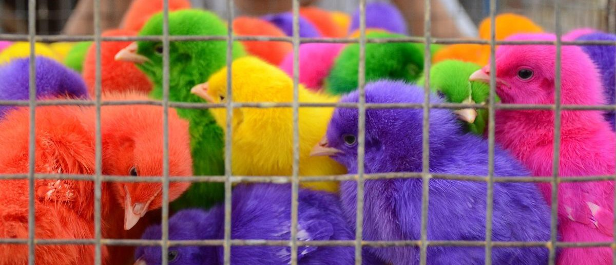 Coloured chicks for sale at 10 Indian rupees (15 US cents) each are crowded into a cage at a roadside stall in Amritsar on June 3, 2015. (NARINDER NANU/AFP/Getty Images)