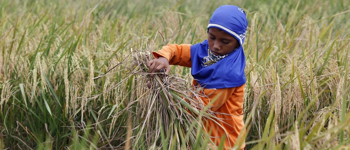 A boy harvests rice in Babelan village in the Bekasi district of Indonesia's West Java province March 1, 2011. Indonesia expects a rice surplus of 10 million tonnes in the next 5-10 years as the government plans to open up vast area of new farmland to boost production, government officials said on Wednesday. Picture taken March 1, 2011. REUTERS/Enny Nuraheni