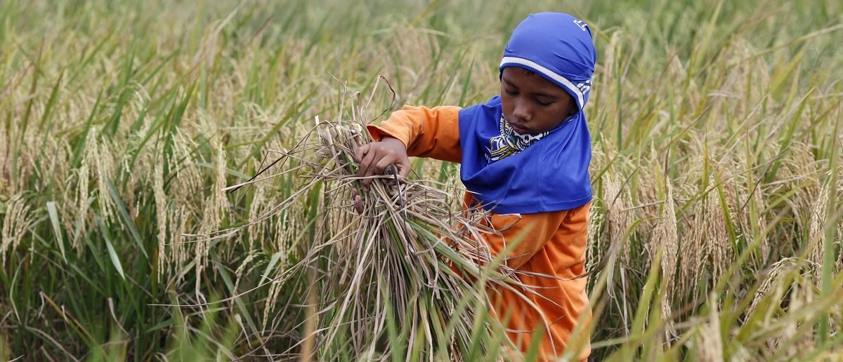 A boy harvests rice in Babelan village in the Bekasi district of Indonesia
