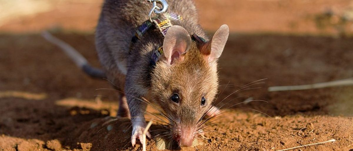 A baby giant African pouch rat smells out a dummy land mine (Photo: YASUYOSHI CHIBA/AFP/Getty Images)