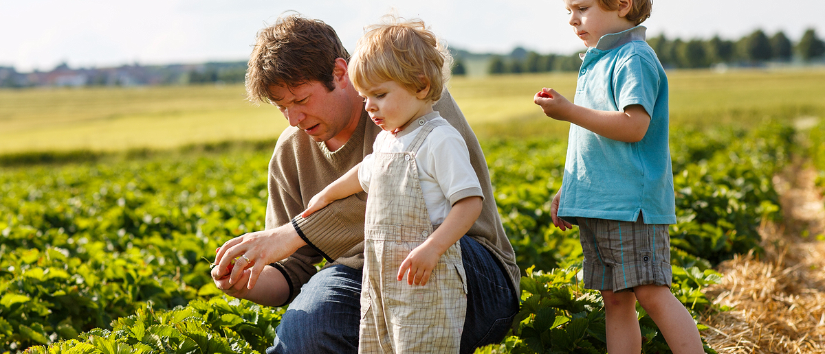 Farmer collects strawberries with his children (Photo: Romrodphoto/Shutterstock)