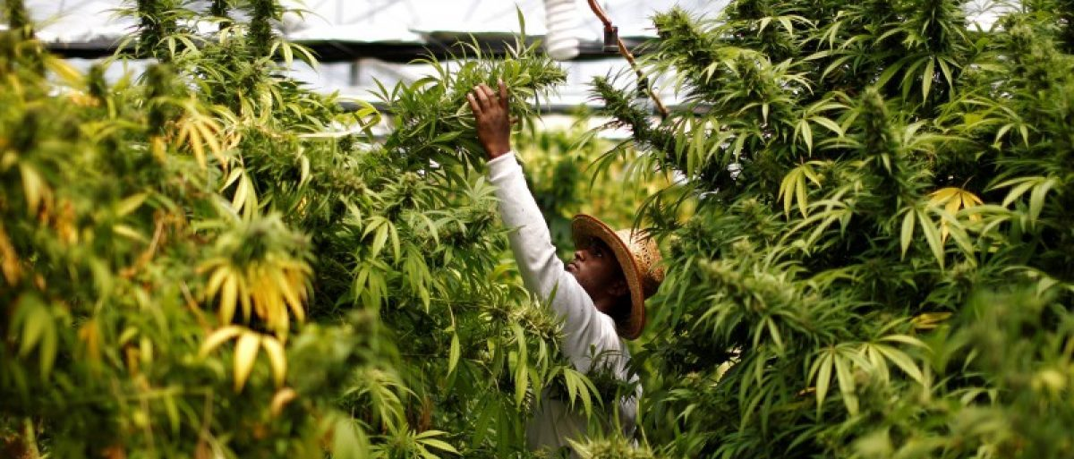 A worker harvests cannabis plants at a medical marijuana plantation near the northern town of Nazareth, Israel May 28, 2013. REUTERS/Amir Cohen/File Photo