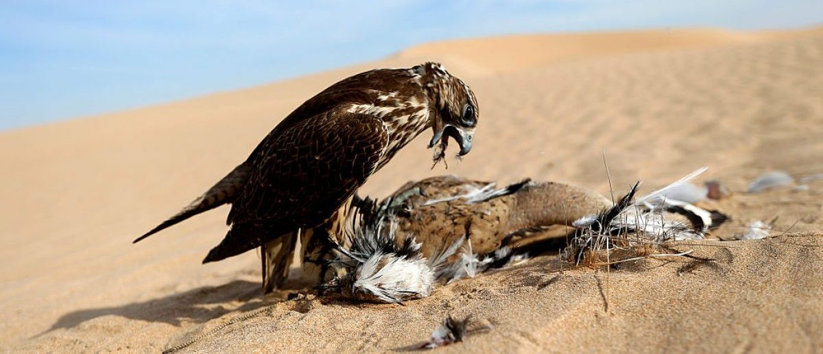 A hunting falcon catches a houbara bustard at  Al Marzoom Hunting reserve, 150 kms west of Abu Dhabi in the United Arab Emirates on February 1, 2016. (Photo credit: KARIM SAHIB/AFP/Getty Images)