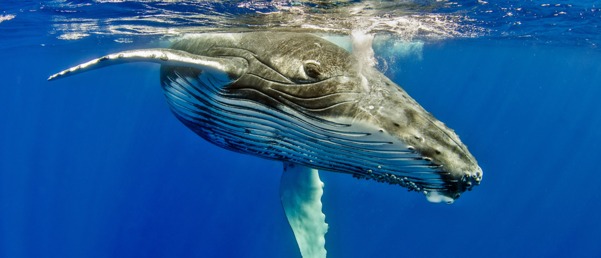A whale calf hides underwater in shame (Shutterstock/Tomas Kotouc)
