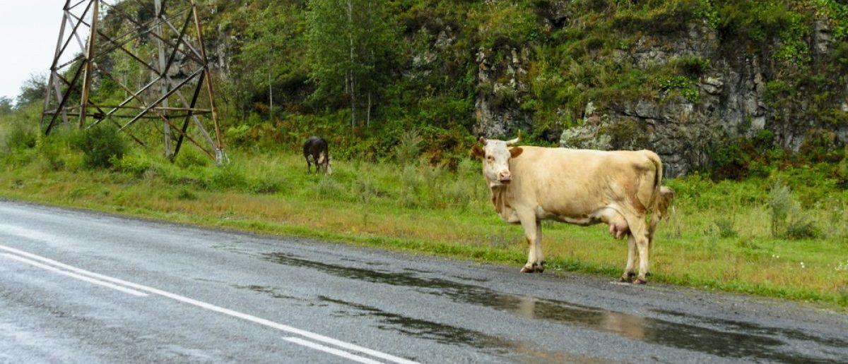 Cow idly waiting on the side of the road. [Shutterstock - Dmitry Sedakov]