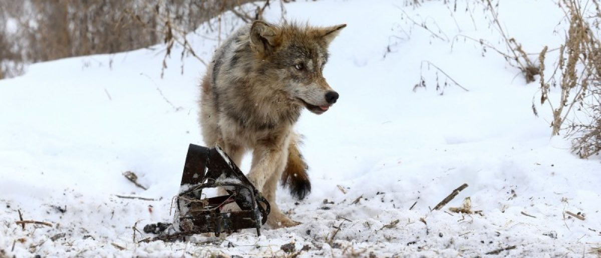 A wolf is caught in a trap near the village of Khrapkovo, Belarus February 1, 2017. REUTERS/Vasily Fedosenko