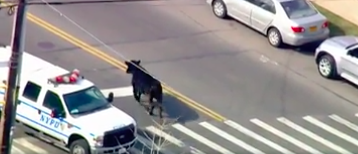A steer loose in Queens evades police capture (Photo: Facebook video screengrab/ABC7NY)